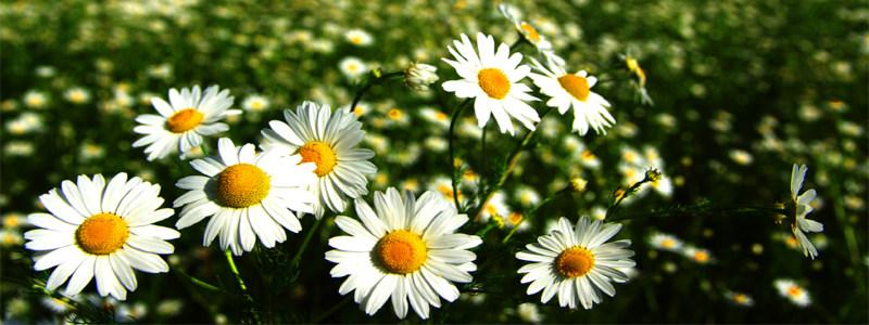 清新花朵海报高清背景图片素材下载