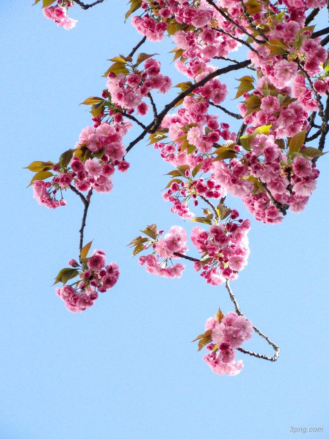 桃花背景背景高清大图-桃花背景鲜花