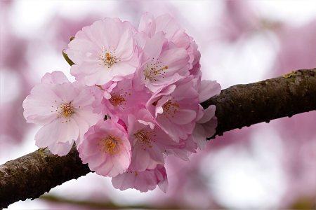 日本樱花高清背景图片素材下载