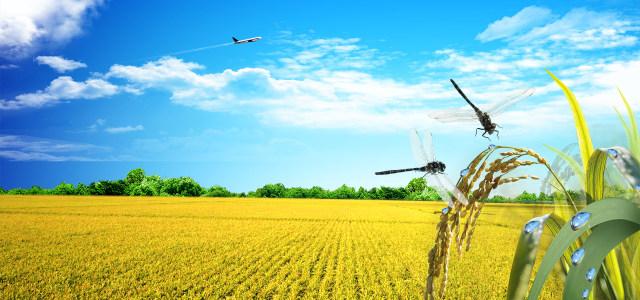 水稻丰收景观