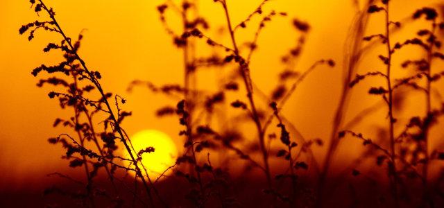 植物夕阳背景