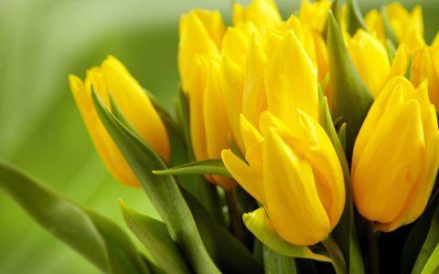 黄色康乃馨高清背景图片素材下载
