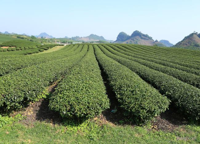 茶山茶园背景高清大图-茶山背景其他图片