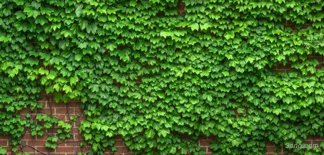 常春藤绿色植物背景背景高清大图-常春藤背景底纹/肌理