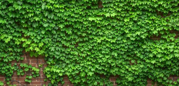 常春藤绿色植物背景