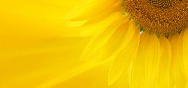 向日葵黄色背景高清背景图片素材下载