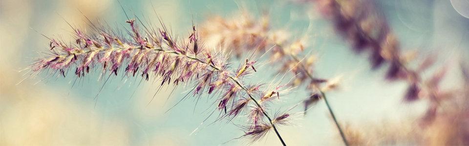 秋季燕麦背景