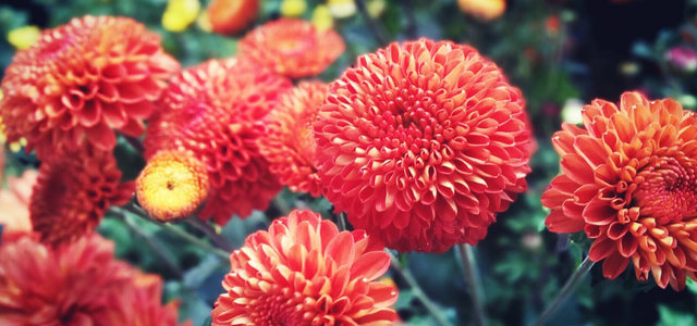 红色鲜花摄影