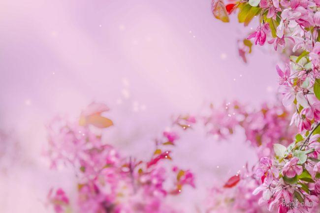 粉色桃花背景背景高清大图-粉色背景鲜花