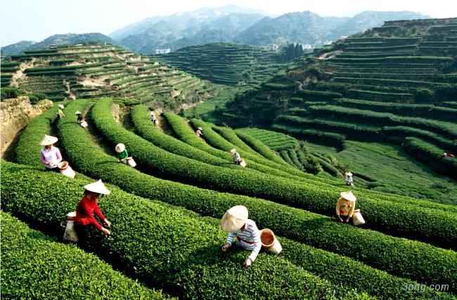 茶山背景背景高清大图-茶山背景其他图片