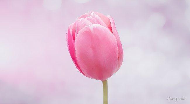 郁金香粉色花朵背景高清大图-郁金香背景节日/喜庆