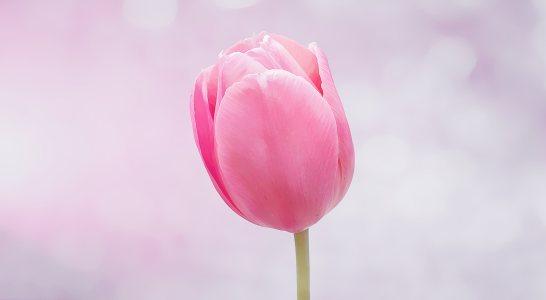 郁金香粉色花朵
