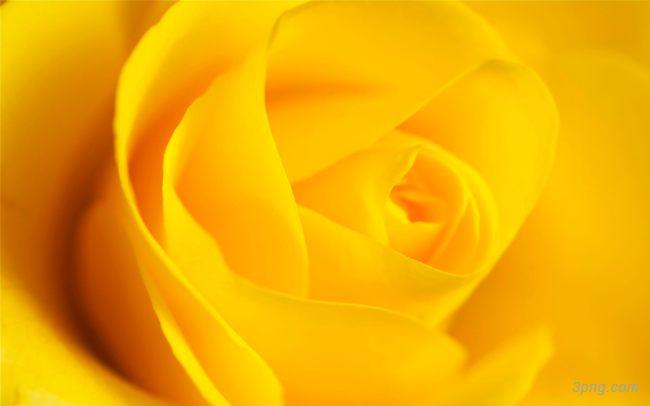 黄色玫瑰花背景高清大图-玫瑰花背景节日/喜庆