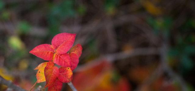 红色树叶摄影