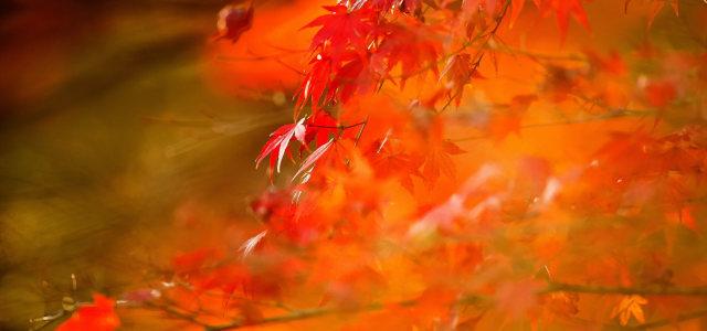 红色枫叶背景