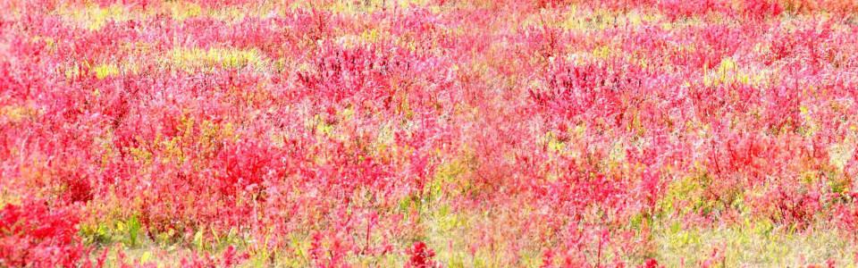 绚丽红色花海海报背景高清背景图片素材下载