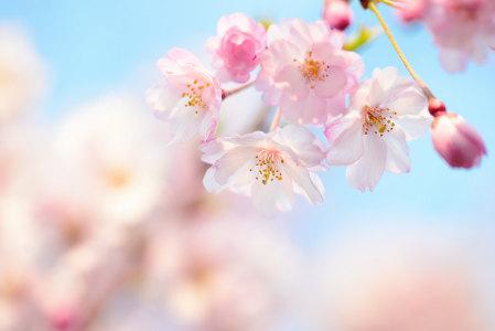 春天桃花背景高清背景图片素材下载