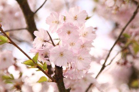 樱花高清背景