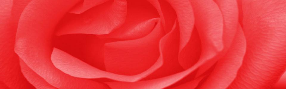 大红唯美大气玫瑰花特写海报背景