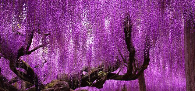 紫色树木背景