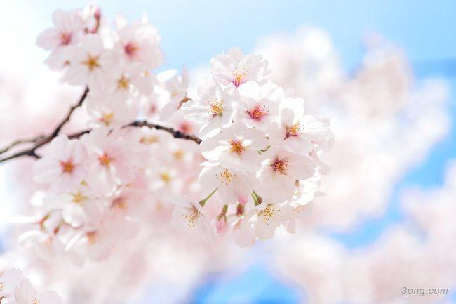 日本樱花背景高清大图-樱花背景鲜花