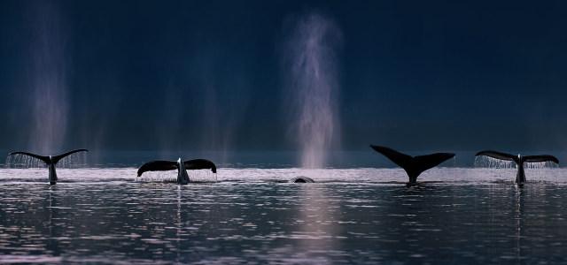 大海上的海豚高清背景图片素材下载
