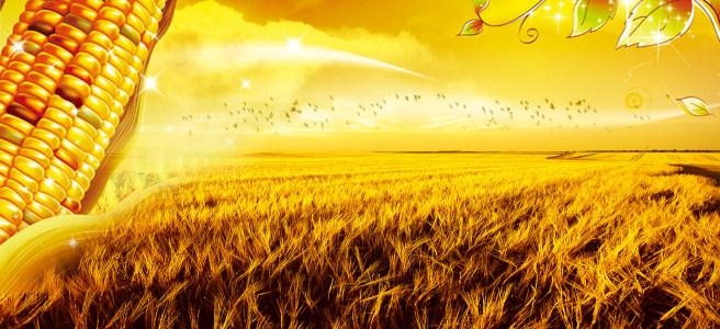 麦田玉米秋收高清背景图片素材下载