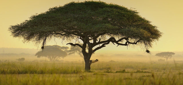 草原大树背景