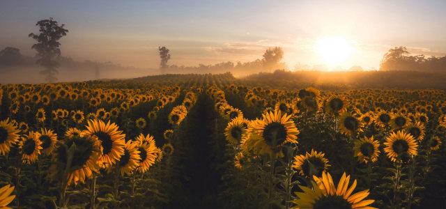 夕阳天空向日葵背景