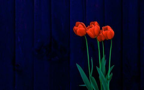 红色郁金香花背景