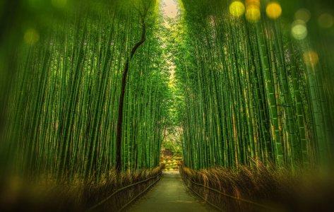 日本竹林背景