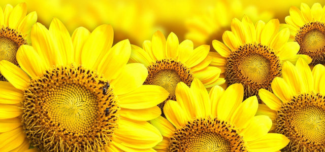 向日葵背景高清背景图片素材下载