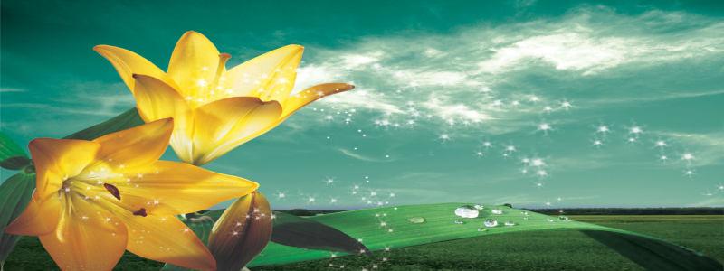春天黄色百合花背景