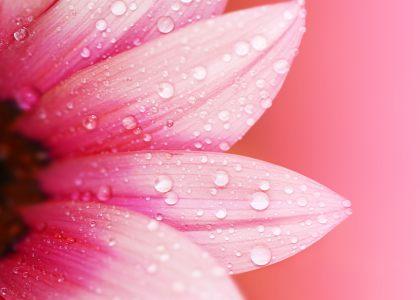 粉色的花背景