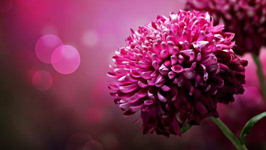粉红色的花背景