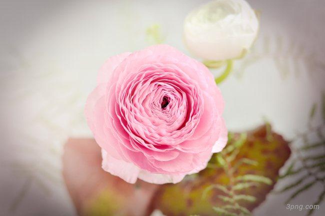 粉色的花背景背景高清大图-粉色背景淡雅/清新/唯美