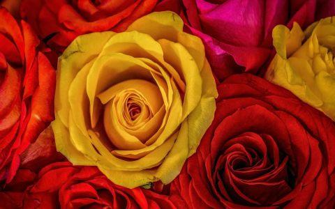 红黄玫瑰花
