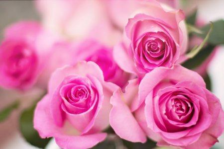 粉红玫瑰花