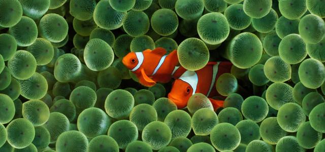 红色金鱼背景