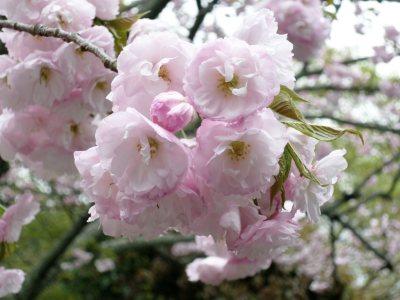 樱花高清背景图片素材下载
