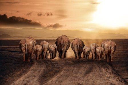非洲草原大象高清背景图片素材下载