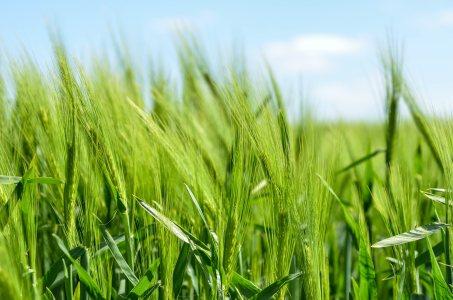 麦子高清背景高清背景图片素材下载