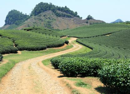 茶山茶园高清背景图片素材下载