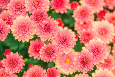 粉红色的花