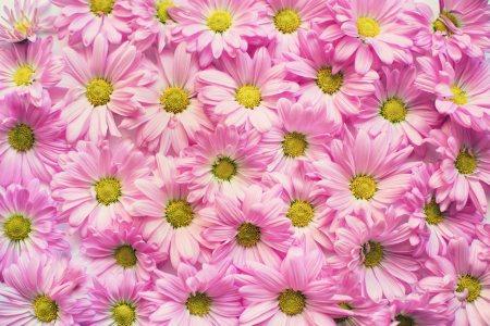 粉色雏菊花背景