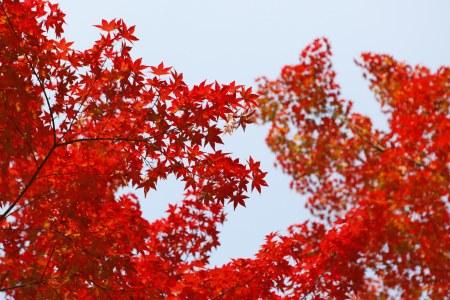 红色枫叶高清背景图片素材下载