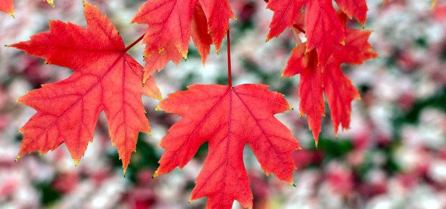红色枫叶摄影
