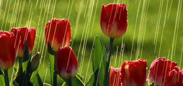 雨中玫瑰背景