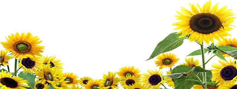 向日葵花朵背景海报高清背景图片素材下载