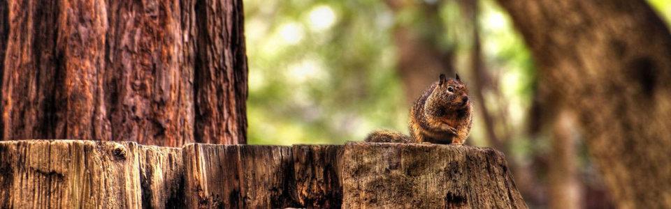 林间松鼠高清背景图片素材下载